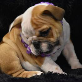 Bulldogs Menu English Bulldog Puppies For Sale