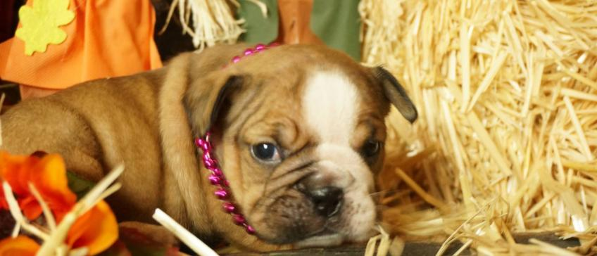 Caring For Bulldogs English Bulldog Puppies For Sale